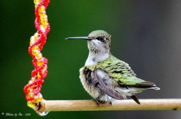Linda-Sue-Mohrmann Attract Hummingbirds