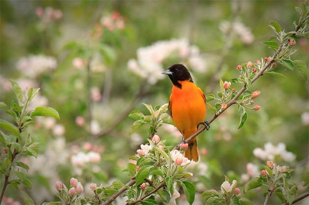 Baltimore oriole facts