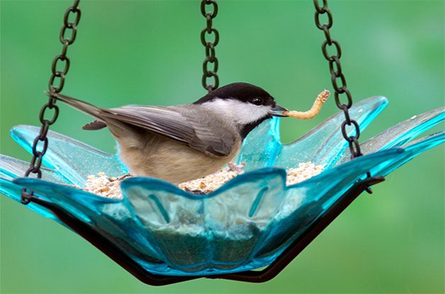 Carolina chickadee with a mealworm in his mouth.