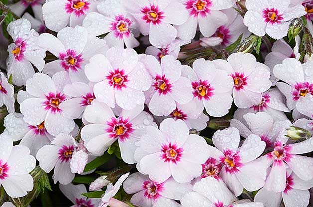 Pink and white creeping phlox early spring flower