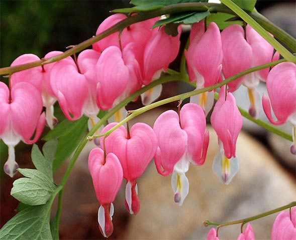 Pink bleeding heart early spring flower