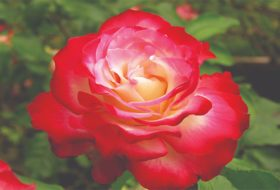 8 Surprising Facts About Roses