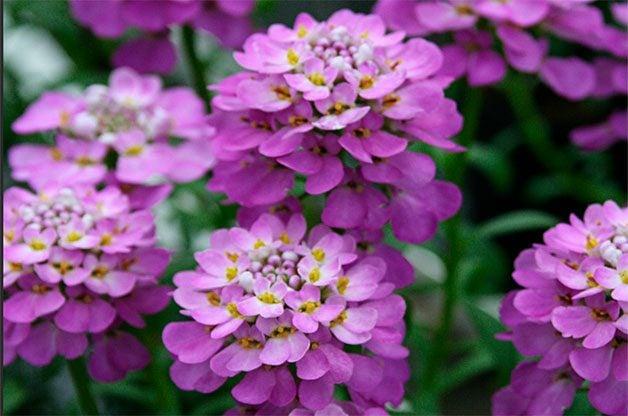 Purple candytuft spring flower