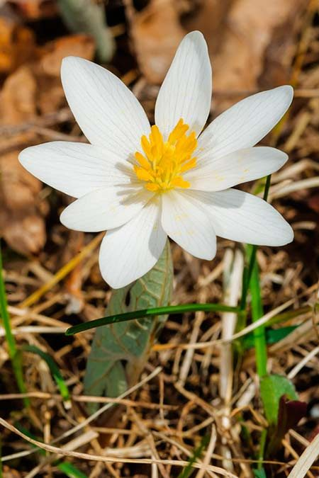 White bloodroot spring flower