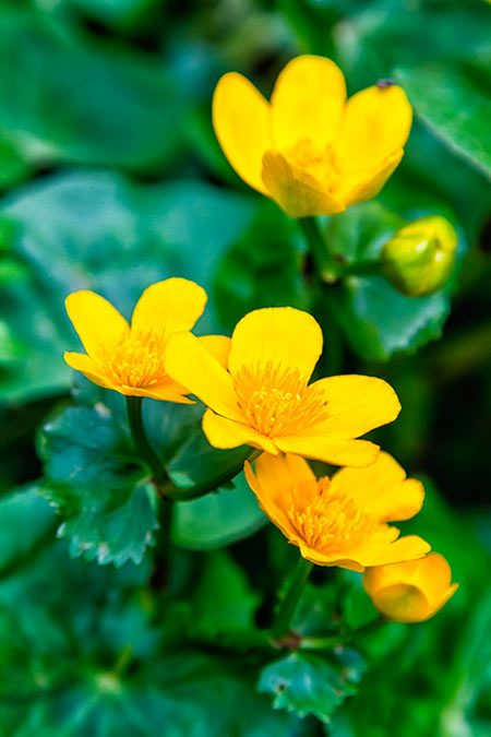 Yellow marsh marigold spring flower