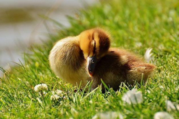 Baby Birds Pixabay Alexas_Fotos