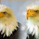 Beauty and the Beak: A Bald Eagle Rescue Story