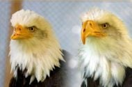 Beauty and the Beak Bald Eagle