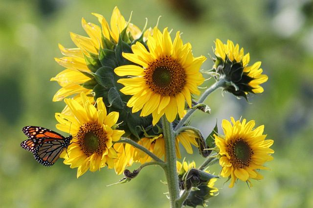 Butterfly Flowers Sunflower Greyerbaby pixabay