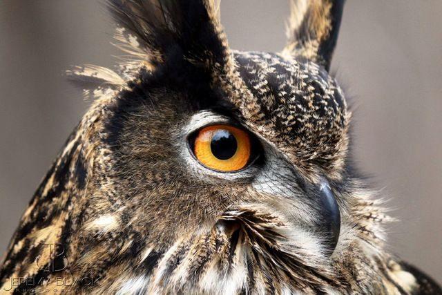 Eurasian Owl Yellow Northern Cardinal Jeremy Black 2