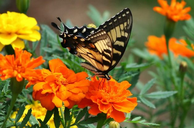Old World Swallowtail Butterfly Flowers Marigold JamesDeMers pixabay
