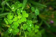 5 Lucky Shamrock Facts for St. Patrick's Day