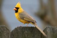 Yellow Northern Cardinal Jeremy Black