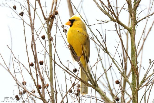 Yellow Northern Cardinal Jeremy Black 2
