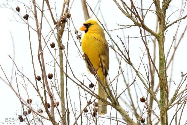 Yellow Cardinal Bird Jeremy Black 2