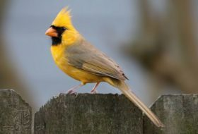 Photographing a Phenomenon: The Yellow Northern Cardinal