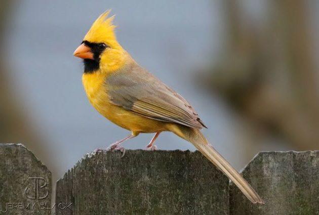 Yellow Northern Cardinal Jeremy Black
