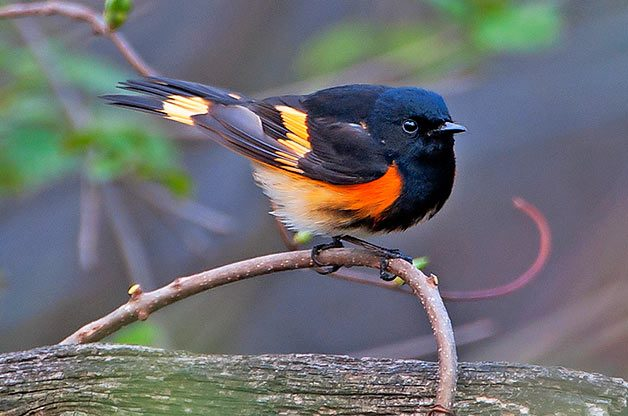 American redstart on branch.