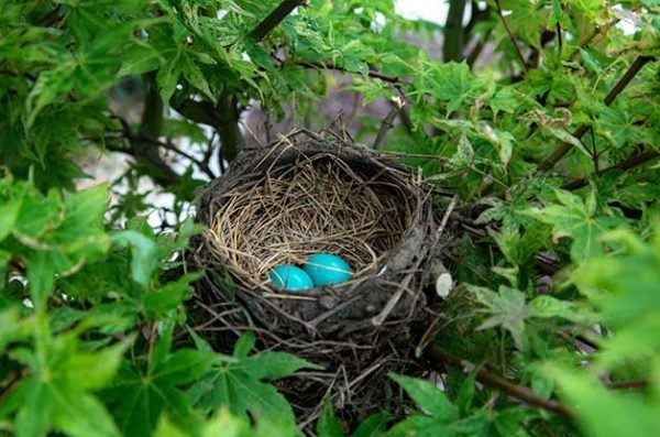 Bird nest found in tree with two blue eggs.