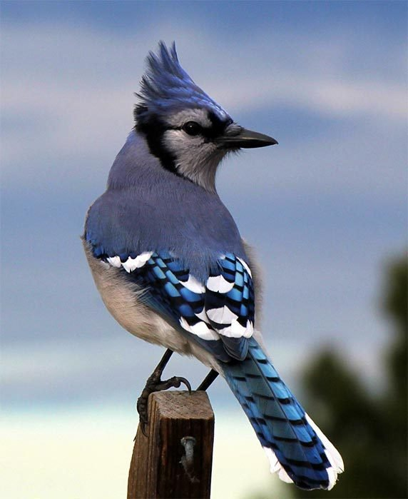 Blue jay perched on post.