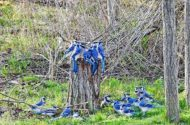 Many blue jays crowd a tree stump.