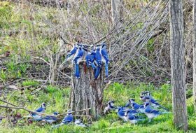 Caption This! Blue Jay Meeting
