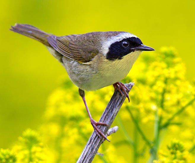 Common yellowthroat warbler on a branch.