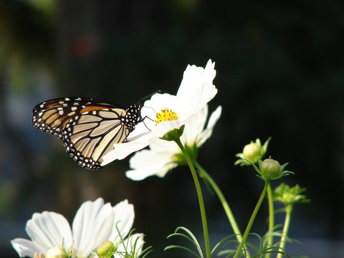 monarch on cosmos flowers
