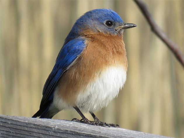 Eastern bluebird resting on perch.