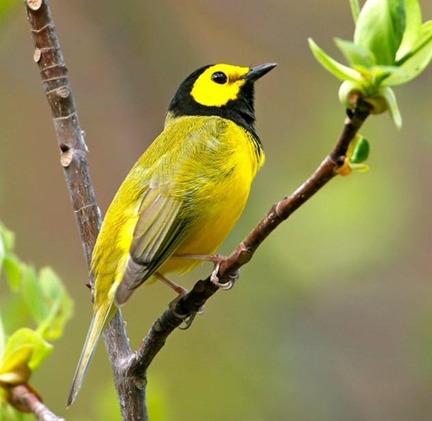 Hooded warbler perched on branch in spring