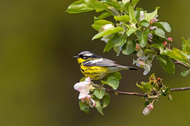Magnolia warbler resting on spring flowering branch.