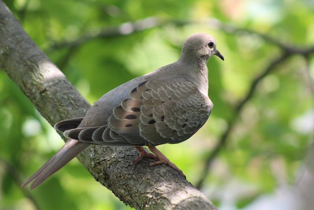 A mourning dove sits in a tree.