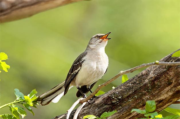 A northern mockingbird sings.