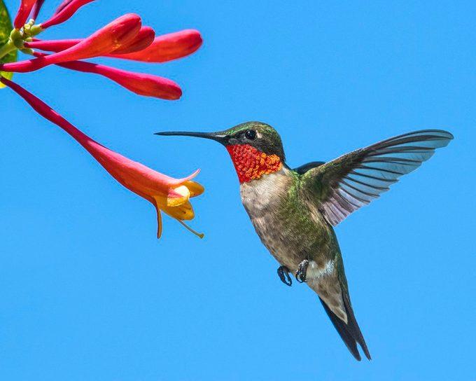 Ruby-throated hummingbird flies near red flowers