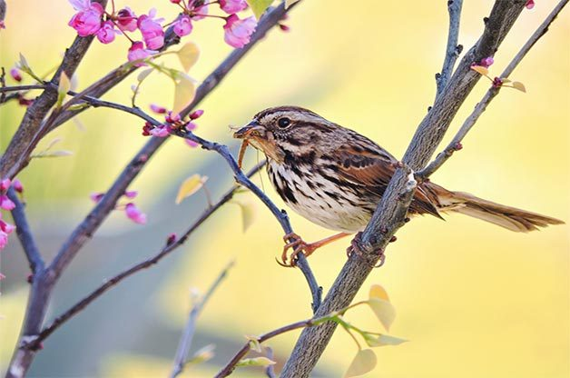 A song sparrow munches on an insect.
