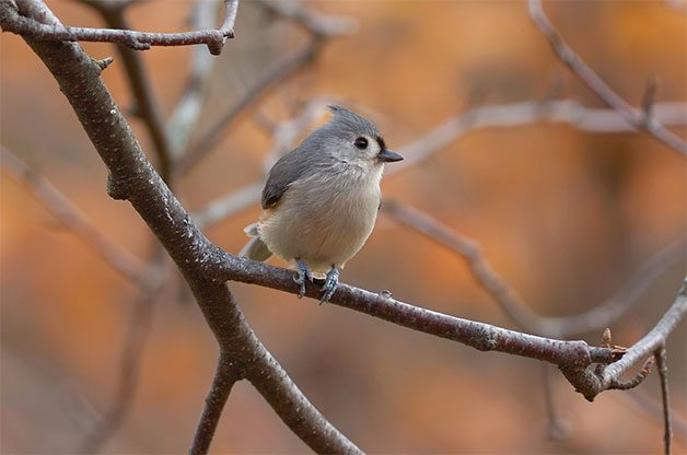 A tufted titmouse sits on a branch in fall.