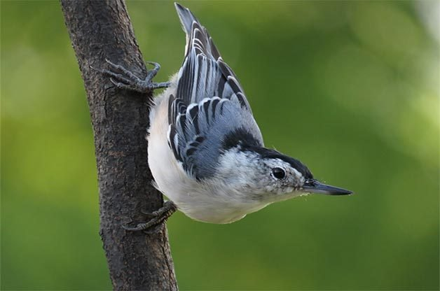 White breasted nuthatch on branch.