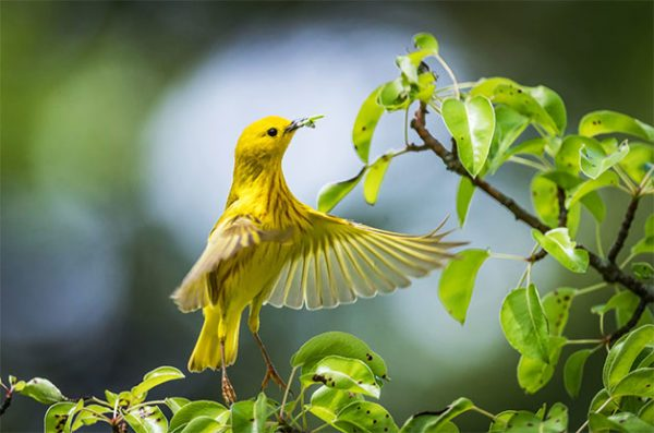 flying yellow warbler catching an insect