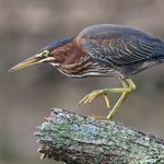 10 Egrets and Herons Found in North America