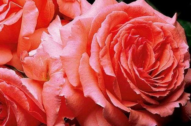 Fragrant Roses America Climber Edmunds