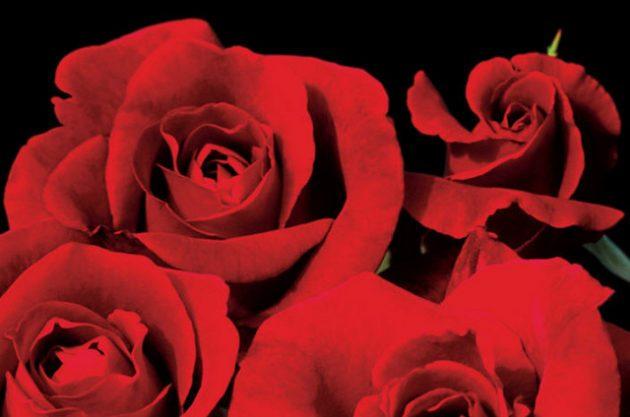 Fragrant Roses Don Juan Jackson Perkins