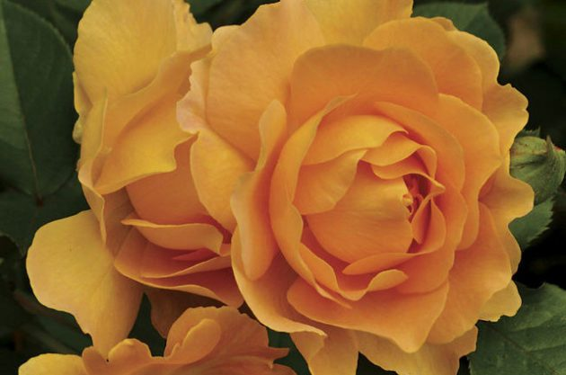 Fragrant Roses Honey Perfume Jackson Perkins