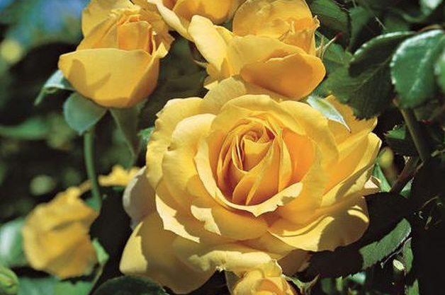 Fragrant Roses Julia Child Jackson Perkins