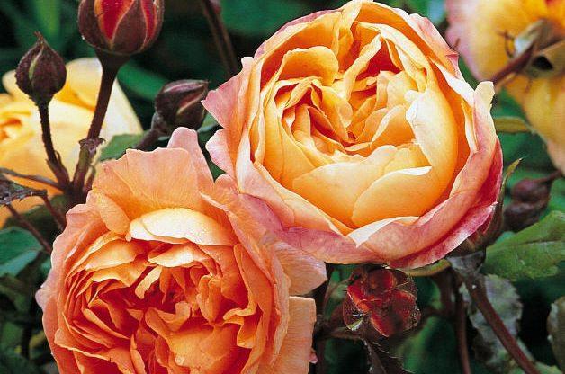 Fragrant Roses Lady Edna Hamilton David Austin