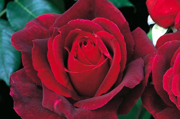 Fragrant Roses Mister Lincoln David Austin