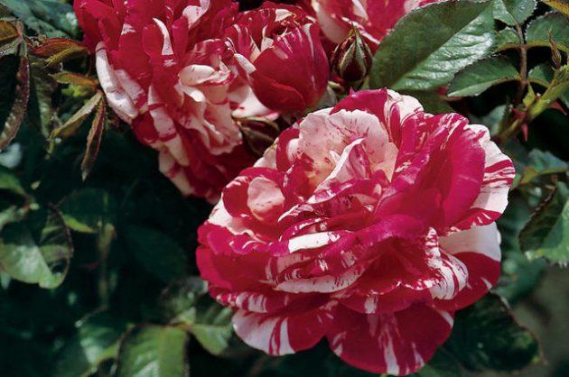 Fragrant Roses Scentimental Jackson Perkins