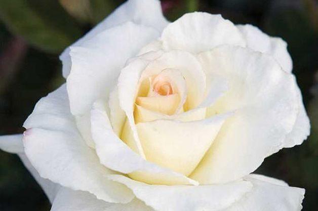Fragrant Roses Secrets Out Edmunds