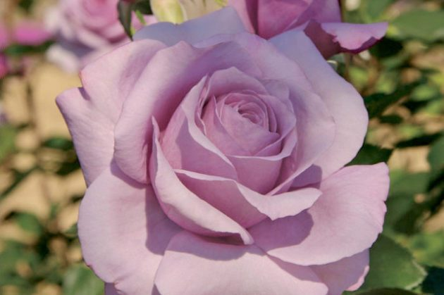 Fragrant Roses Sweetness Jackson Perkins