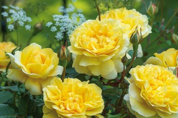 Fragrant Roses The Poets Wife David Austin