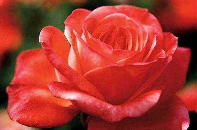 Fragrant Roses Tropicana Edmunds